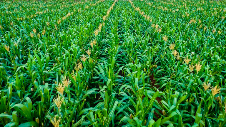 Good news for seed companies and farmers in Africa: QBS offers a sustainable supply of foundation seed