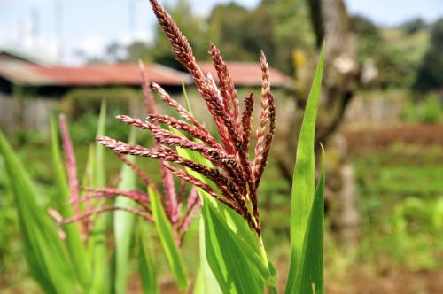 1512376167-Maize on a Mount Kenya farm