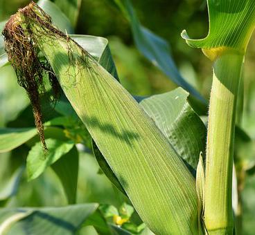 corn-3560744  340 2