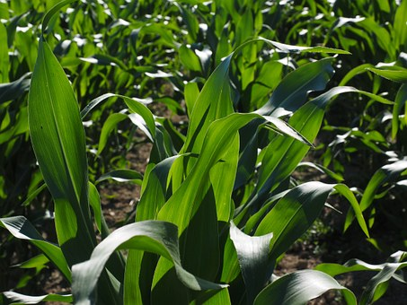 cornfield-592579  340