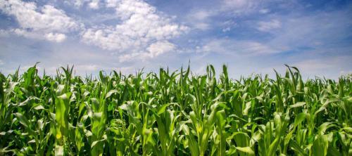 maize-maze-sky